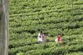 Asie Sri Lanka Agriculture Thé