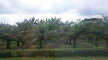 Cameroun Huile de palme